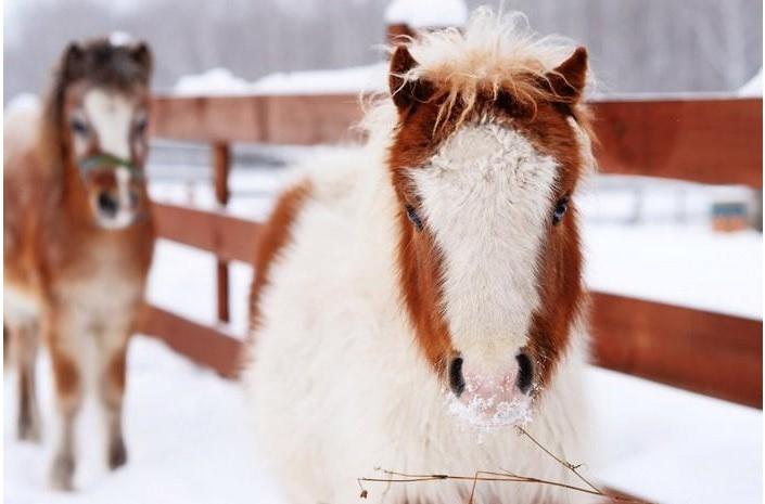 Пони-ферма_Мини-кони (3)